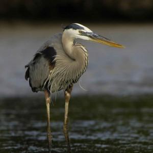 blue heron in Ladysmith Take 5 copyright