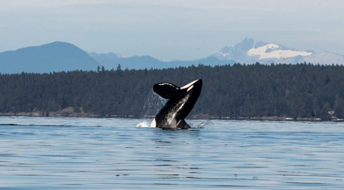 Orca Family Put on Quite a Show Along Saltair's Shoreline